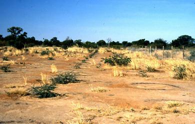 Young acacias