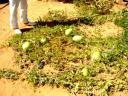 watermelons inDahla