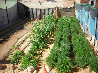 Algeria : Successful gardening by Saharawis in the Sahara desert ...