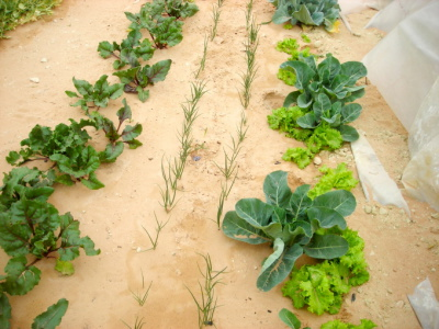 TC and drip irrigation
