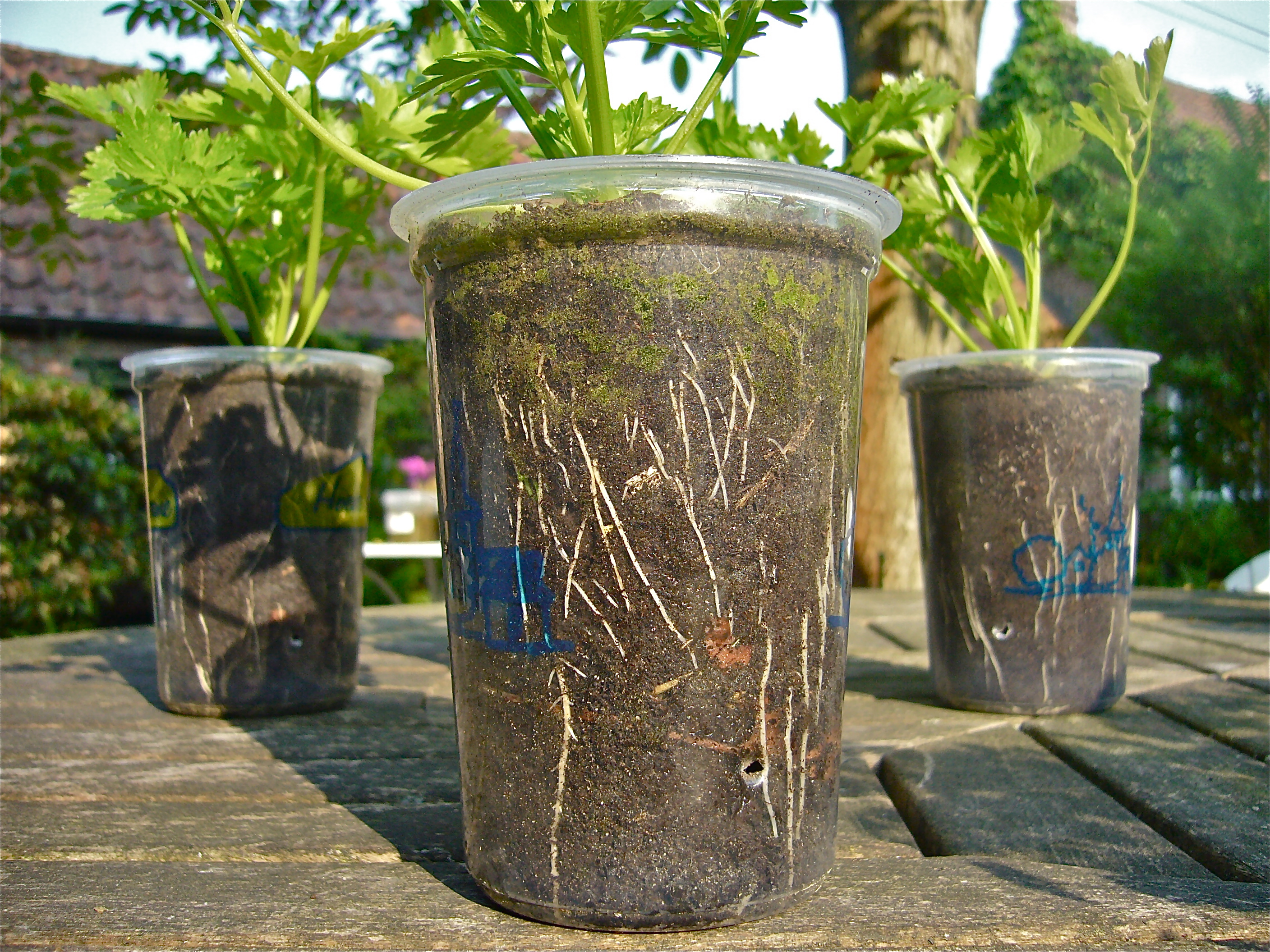 how to grow moringa in a pot