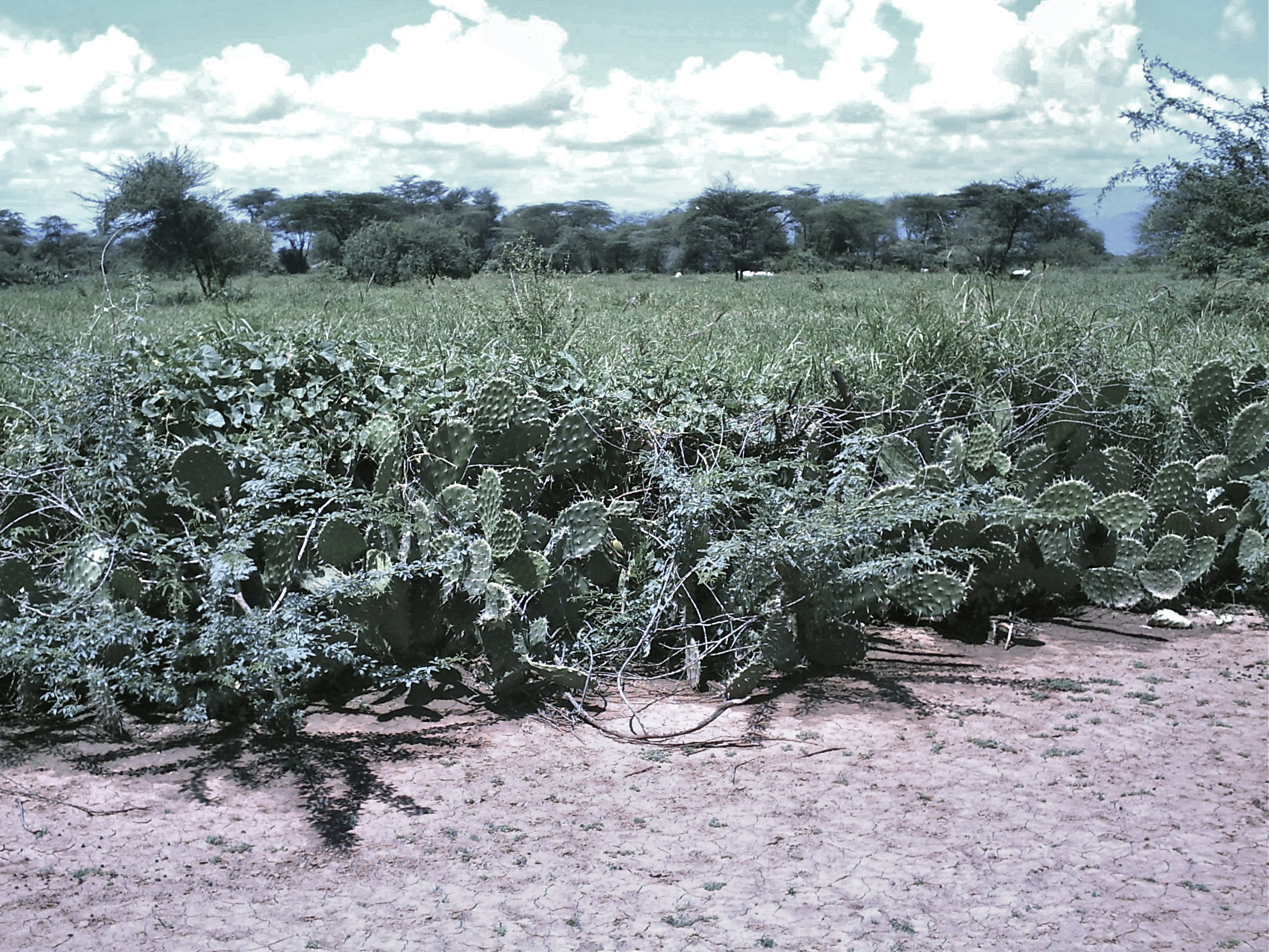 Prickly Pear (Opuntia Ficus Indica) For Living Fences And Livestock Feed In  The Drylands (Stephen MUREITHI / Willem VAN COTTHEM)