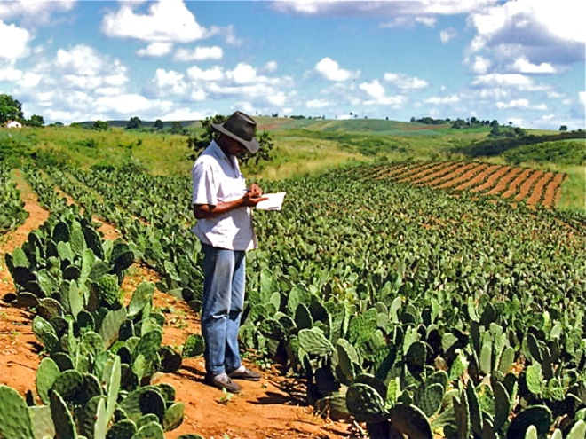2000-06 - N.E. Brazil : Smallholder farmer inspecting his Opuntia plantation (Photo WVC)