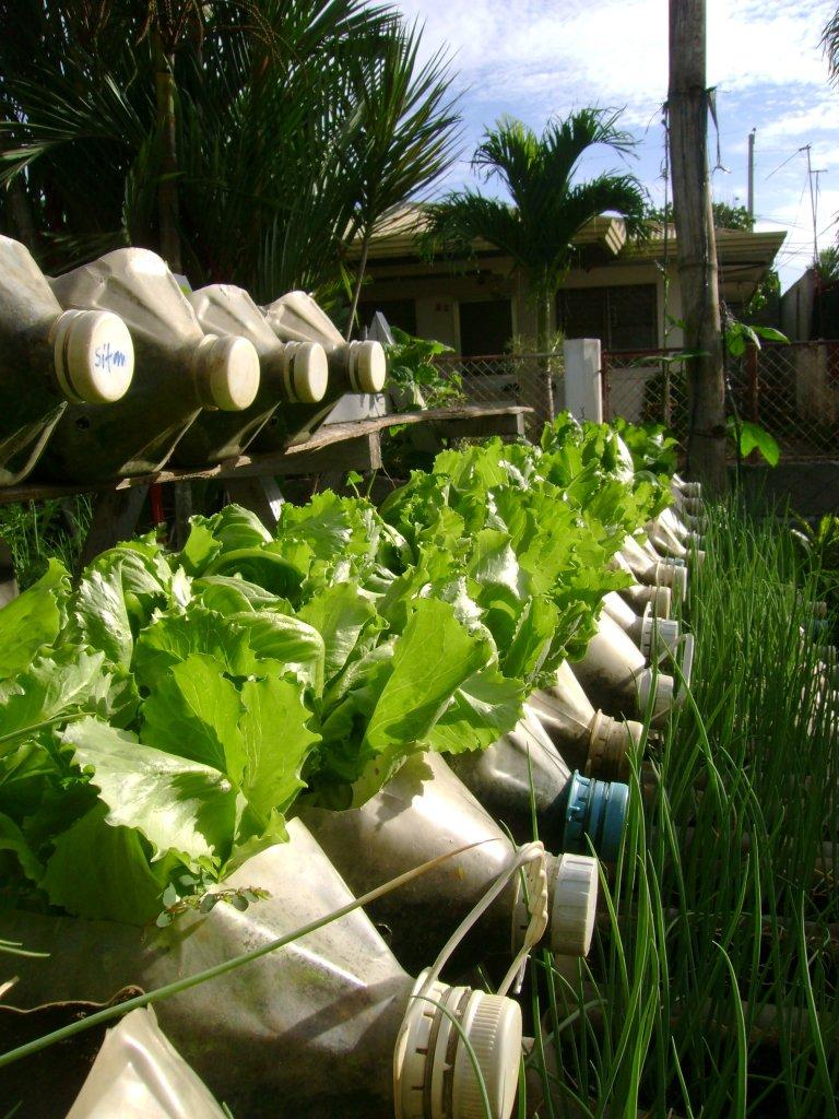 Growing lettuce in a pot -  Photo Jojo Rom 2010 10 Impressive Lettuce