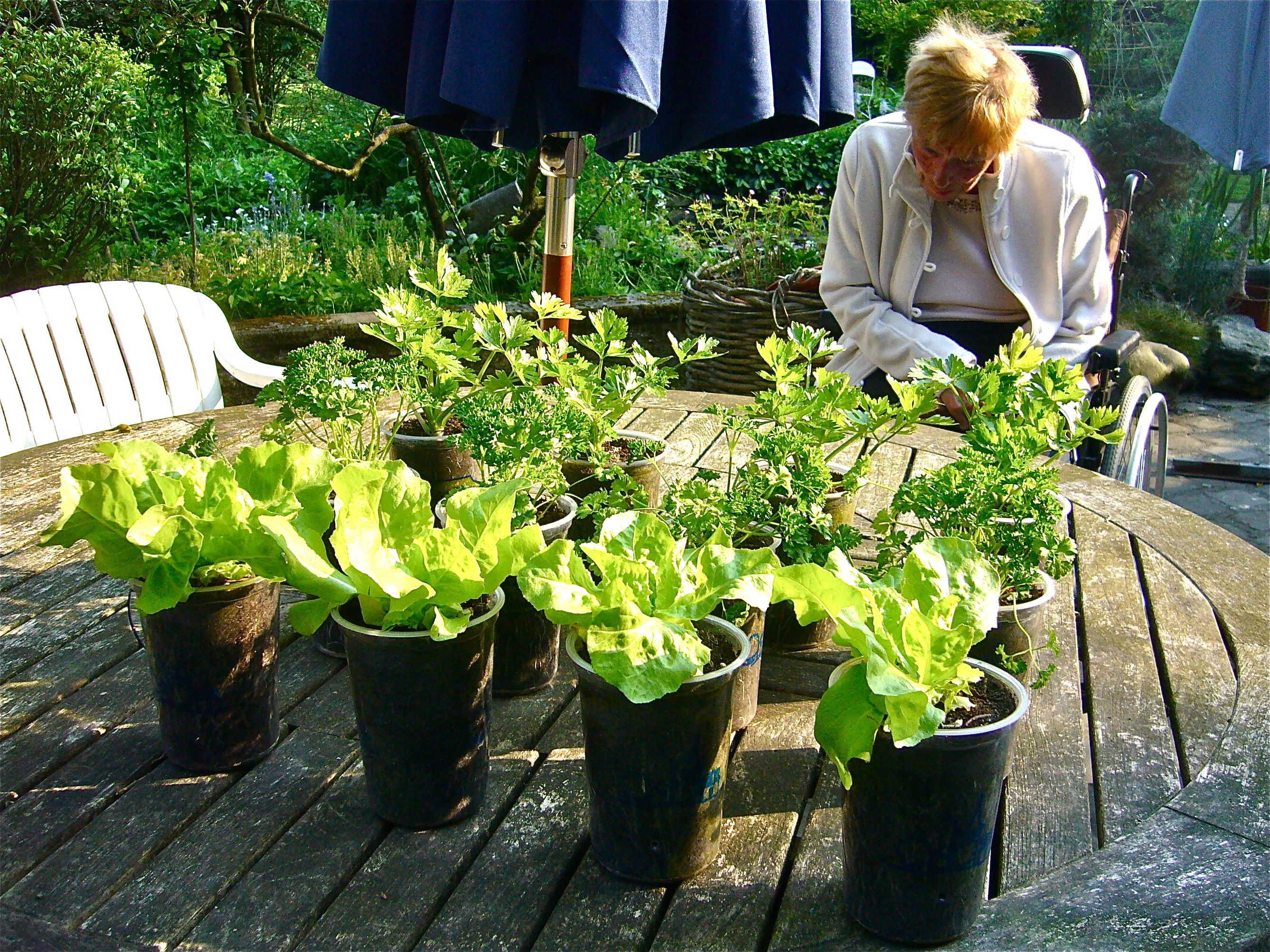 Kitchen Garden In Pots - Use recycled containers like yogurt pots or cups for a table kitchen garden photo wvc