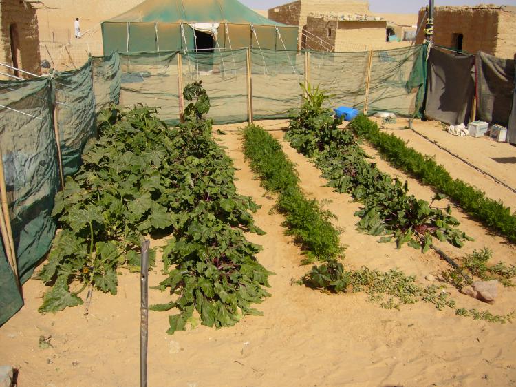 2007 - Family garden in the Sahara desert (S.W. Algeria) - UNICEF-project (Photo WVC)