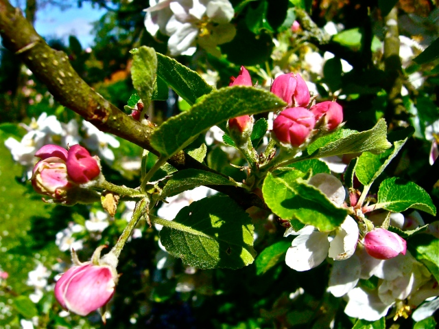 Apple blossoms are like a promising spring (Photo WVC)