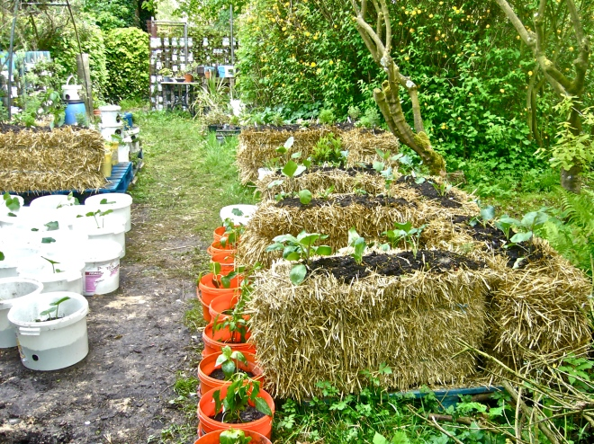 Combating desertification with container gardening in buckets and on straw bales (Photo WVC)