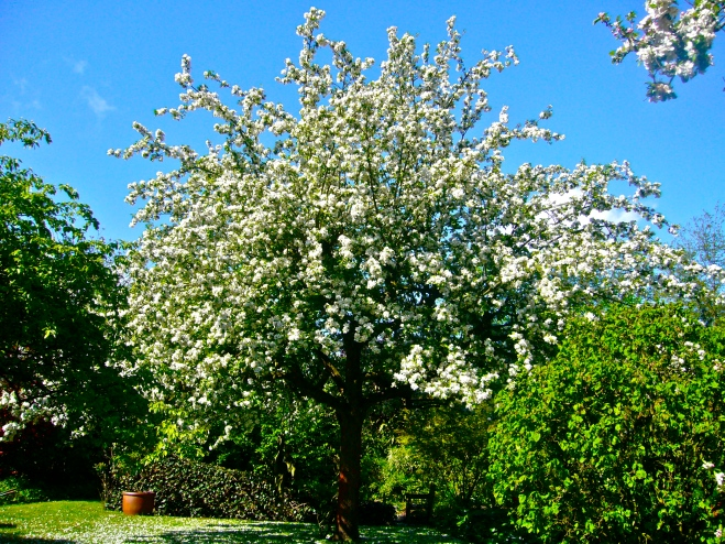 Apple tree in Spring - Zaffelare, Belgium, 2013 (Photo WVC)
