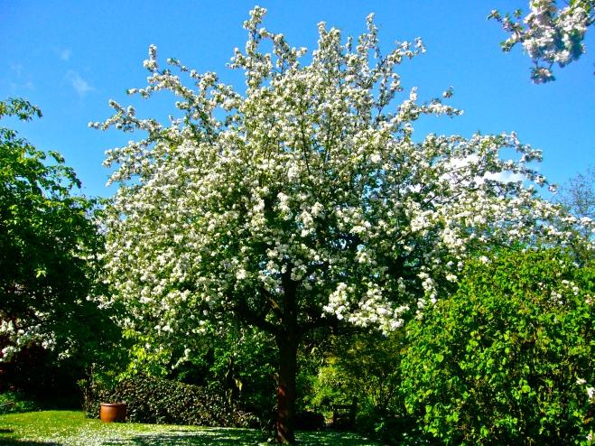 Apple tree in Spring - Zaffelare, Belgium, 2013 (Photo WVC)