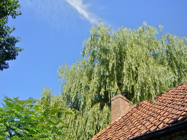 Easily rooting willow trees and privets can be very useful for reforestation.  It suffices to push cuttings inthe soil to see new trees thriving, even in rather dry regions.  Here, a splendid weeping willow (Photo WVC)