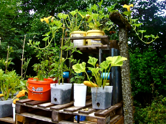 Recycled pots and buckets are excellent containers to produce fresh food in a very easy way : zucchinis, pumpkins, squash, tomatoes, chili peppers, jalapenos, etc. simply growing on pallets or on risers (Photo WVC)
