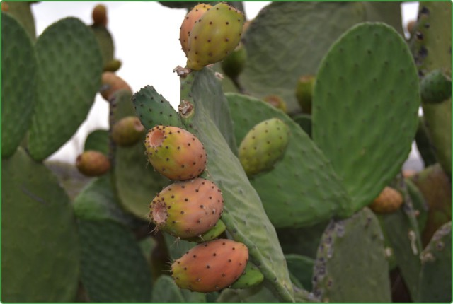 Prickly pear, edible spineless variety (Photo Yemen Times, Ali Abulohoom)