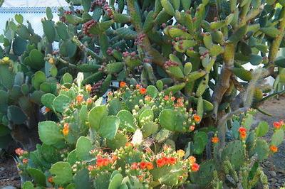 Echinocactus platyacanthus - Viquipèdia, l'enciclopèdia lliure
