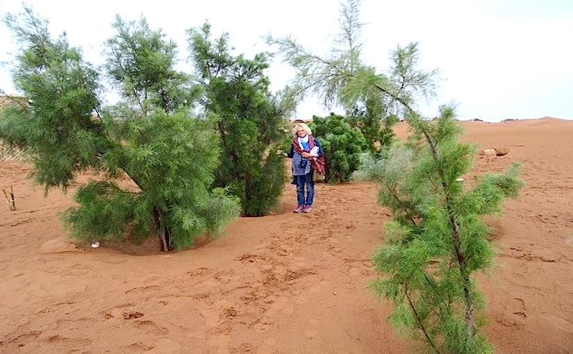 April 2014 - Tamarix trees planted with Groasis Technology  in Sahara Desert Morocco September 2010