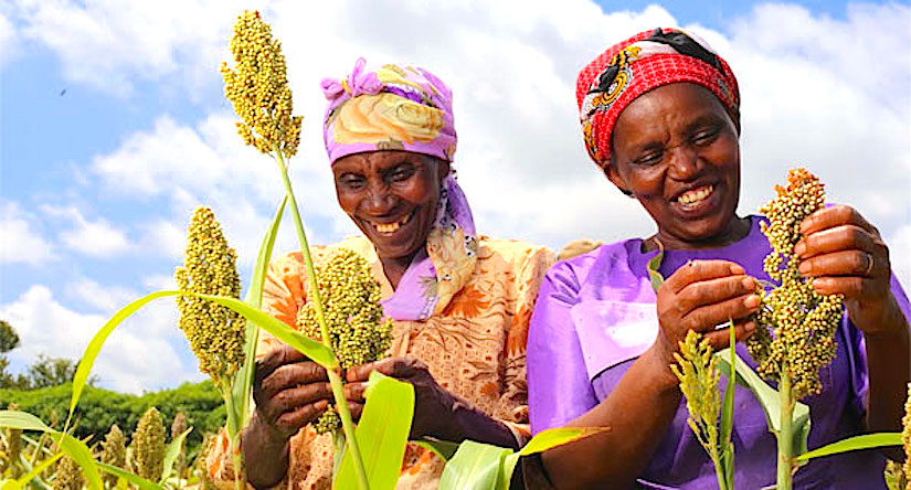 Sorghum, one of the 'Climate Change Ready'crops