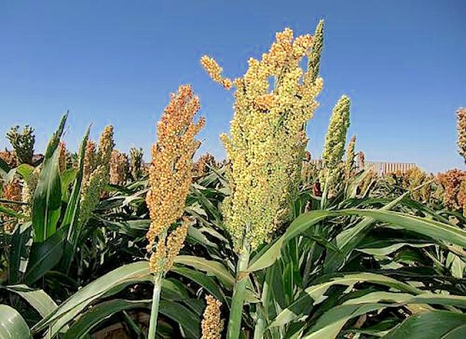The photograph above shows sorghum growing in a breeder's field in Lubbock, Texas. The panicle on the left, with orange-yellow seeds, is an elite inbred line, while the panicle on the right is the same elite line with an induced mutation. This new sorghum variety, developed by ARS scientists, yields 30 to 40 percent more seeds. Credit: Zhanguo Xin - http://cdn.phys.org/newman/gfx/news/2015/3-scientistsde.jpg