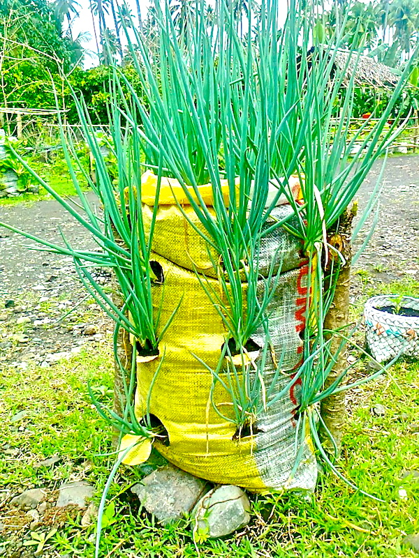 Sack gardening - onion - Photo Ville Farm - 625641_134848003355532_1593377365_n copy.jpg