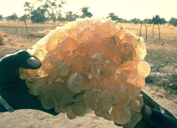Desertification And The Gum Arabic Tree Acacia Senegal