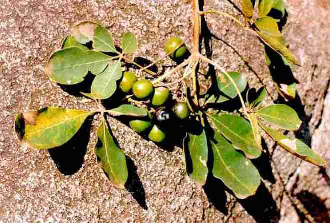 Vitex doniana - http://www.africa.upenn.edu/faminefood/images/Vitexdonianaleavesfruits1.jpg