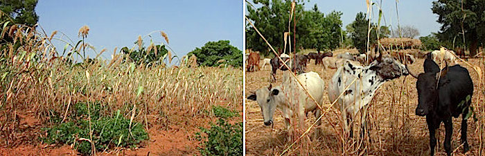 Farmers and agronomists are conducting experiments to find a balance between crop yields, feeding their cattle and improving the soil. Photos: George Félix - http://www.agriculturesnetwork.org/magazines/global/soils-for-life/slash-and-mulch/yieldslivestocksoil.jpg