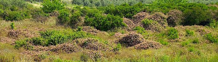 Lantana Invasion of abandoned citrus plantation Sdey Hemed Israel. - http://upload.wikimedia.org/wikipedia/commons/1/16/Lantana_Invasion_of_abandoned_citrus_plantation_Sdey_Hemed_Israel.JPG