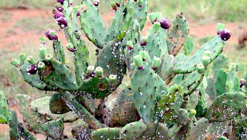 An invasive species in Kenya, Opuntia (PricklyPear)