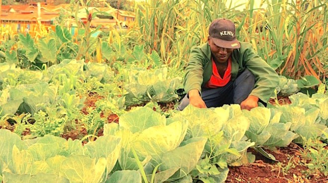 David Njeru, a farmer from central Kenya, attends to his cabbages. This community is at risk of being displaced from their land by powerful real estate developers. Credit: Miriam Gathigah/IPS - http://cdn.ipsnews.net/Library/2015/05/miriam_2-629x352.jpg
