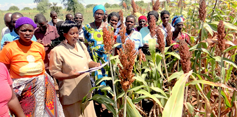 Drought-tolerant sorghum and millet inMalawi