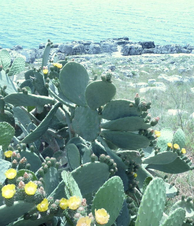 Spineless prickly pear in Puglia (italy) - Photo credit Wim Maes 2015.