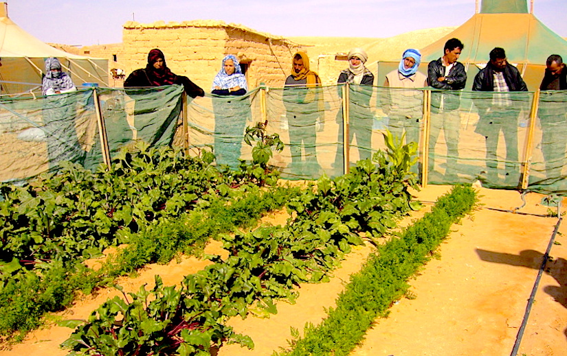 Family gardens in the Algerian Sahara desert
