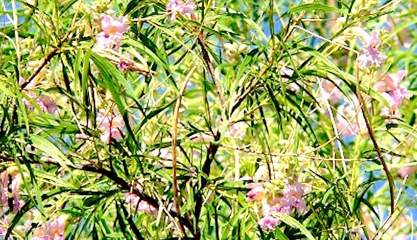 http://www.gardeningknowhow.com/wp-content/uploads/2015/04/desert-willow-400x380.jpg