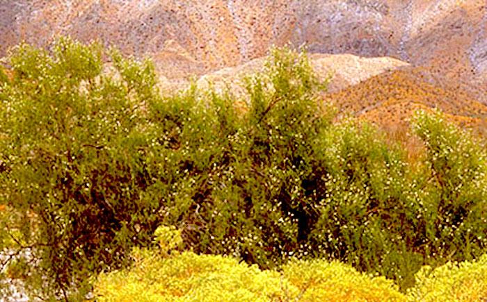 Desert-willow, Chilopsis linearis ssp. arcuata - http://www.abdnha.org/images/03_flora/family/bignoniaceae/web_desertwillow_sandpaper.jpg