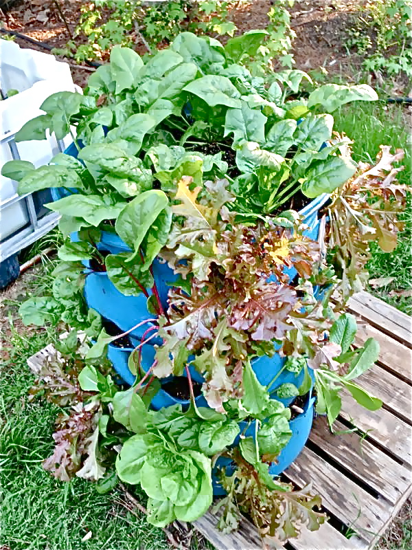 * Barrel - Vegetables2 - Photo Easiest Garden - garden_09___6.jpg