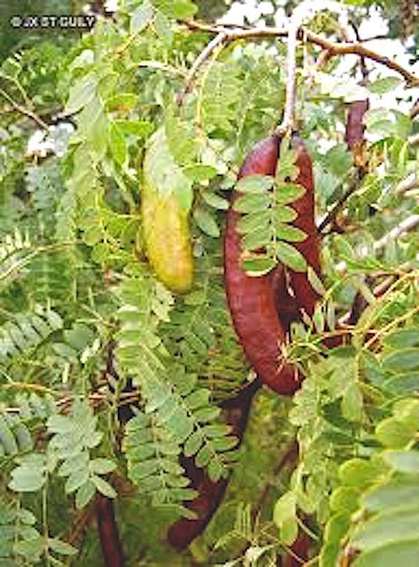 Fabaceae - Prosopis africana - Prosopis Africain, Kiriya, Zamturi - http://www.bee-paysage.fr/images/vgtx/Fabaceae-Prosopis-africana-Prosopis-Africain-Kiriya-Zamturi.jpg