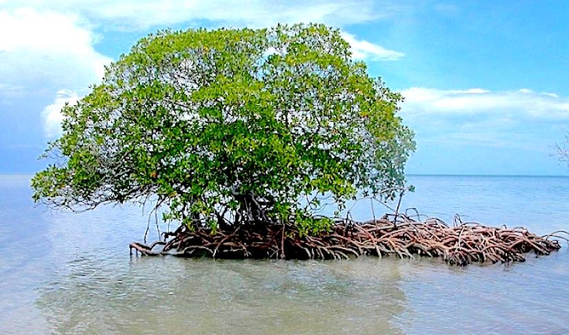 http://images.natureworldnews.com/data/images/full/18467/mangrove.jpg?w=600