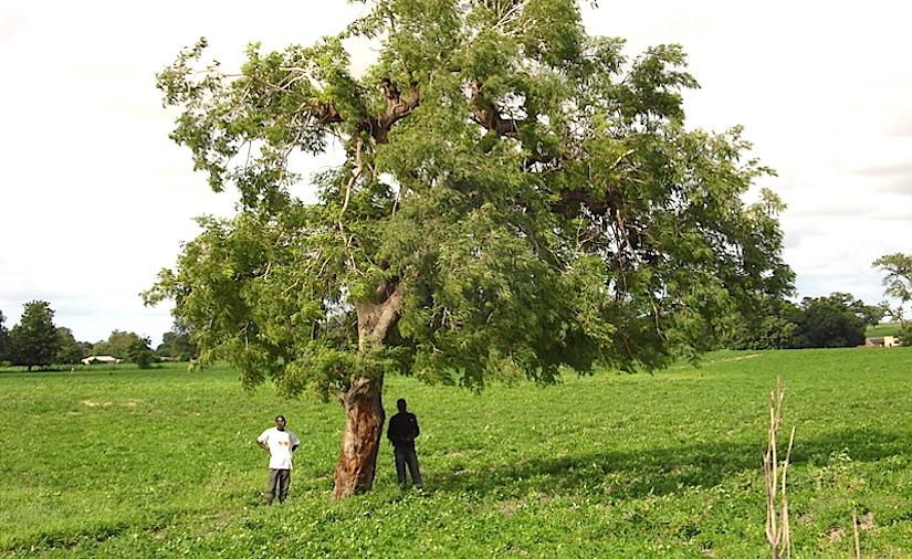 http://www.westafricanplants.senckenberg.de/images/pictures/prosopis_africana_sc_dsc02158_1297_0f7ab8.jpg