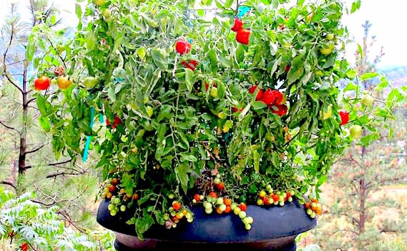 http://media.treehugger.com/assets/images/2015/09/tomatoes-littlecropcircles.jpg.662x0_q70_crop-scale.jpg