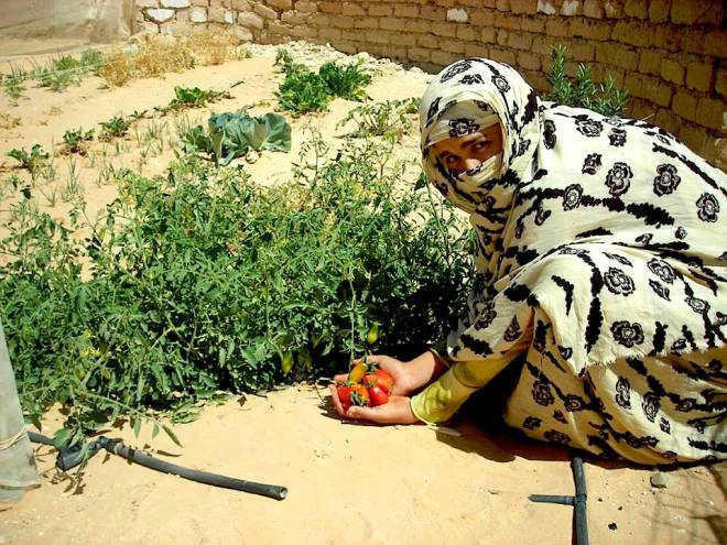 Localised Food Growing in the Sahrawi refugee camps, South West Algeria. - Photo Philip Hittepole - https://scontent-fra3-1.xx.fbcdn.net/hphotos-xta1/v/t1.0-9/12122404_10153708485495844_807527384646669399_n.jpg?oh=06e8b65409137b33eb7f9c73d61c45ee&oe=568576D3