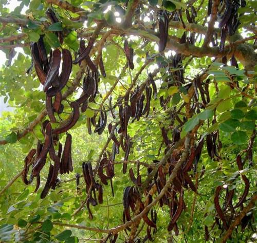Carob tree with edible pods that are used as cocoa powder substitute - http://balconygardenweb.com/wp-content/uploads/2015/10/400558-500x473_mini.jpg