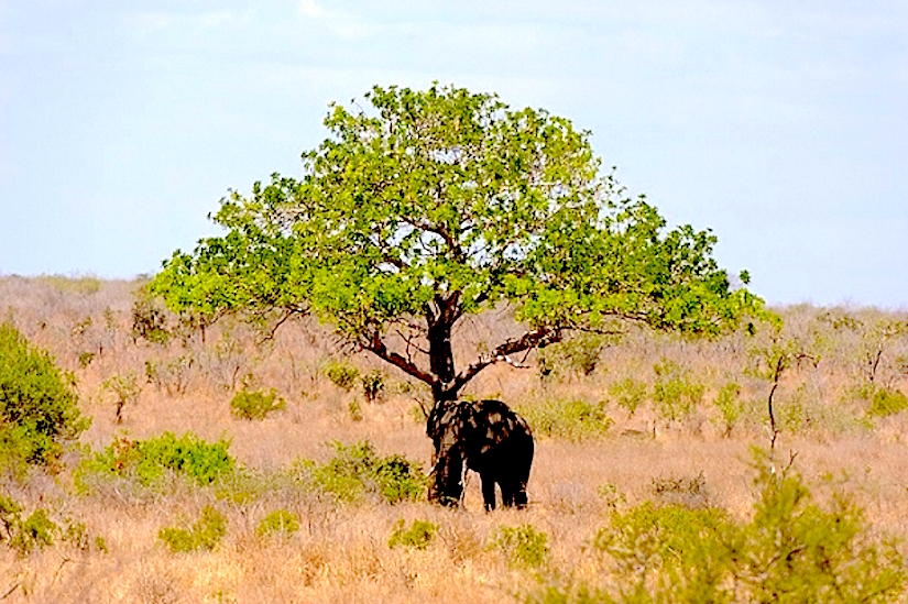 African elephants and theenvironment