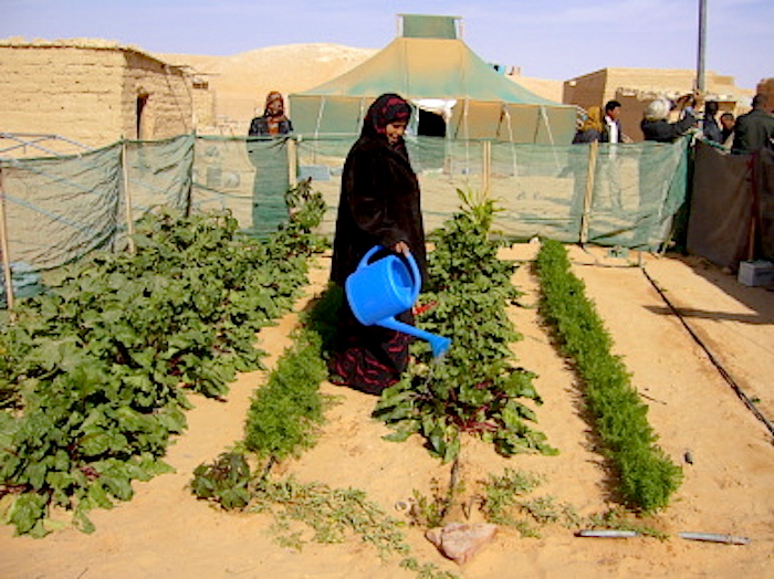 2007 - One of the family gardens in a refugee camp in S. W. Algeria (Photo WVC)