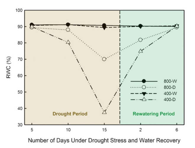 Changes in leaf relative water content (RWC), a good indicator of leaf hydration status and the level of drought tolerance, of tall fescue in response to 15 days of drought stress and 6 days of rewatering under ambient (400 ppm) or elevated CO2 concentration (800 ppm). Legend key: 800-D = drought-stressed plants under elevated CO2 concentration, 800-W = well-watered plants under elevated CO2 concentration, 400-D = drought-stressed plants under ambient CO2 concentration and 400-W = well-watered plants under ambient CO2 concentration. - http://www.co2science.org/articles/V18/dec/Chenetal2015b.jpg
