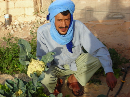 Engineer Taleb BRAHIM harvesting cauliflower in Smara refugee camp (S.W. Algeria) - image003.jpg