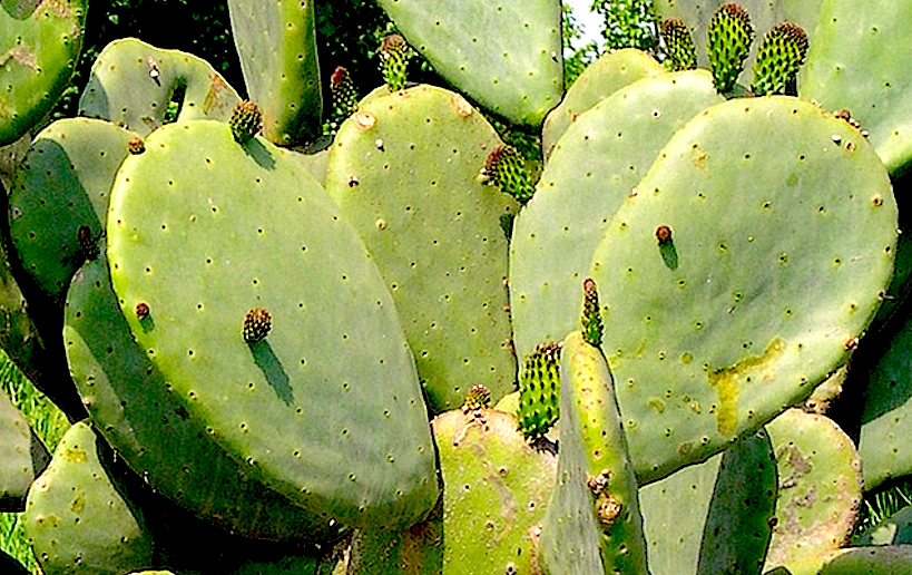 http://www.fruitiers-rares.info/articles99a104/Opuntia-ficus-indica-raquettes-variete-inerme.jpg