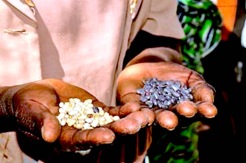 Supply legume seeds and fertilizer tree seedlings: farmers enjoying benefits and keen to scaleup