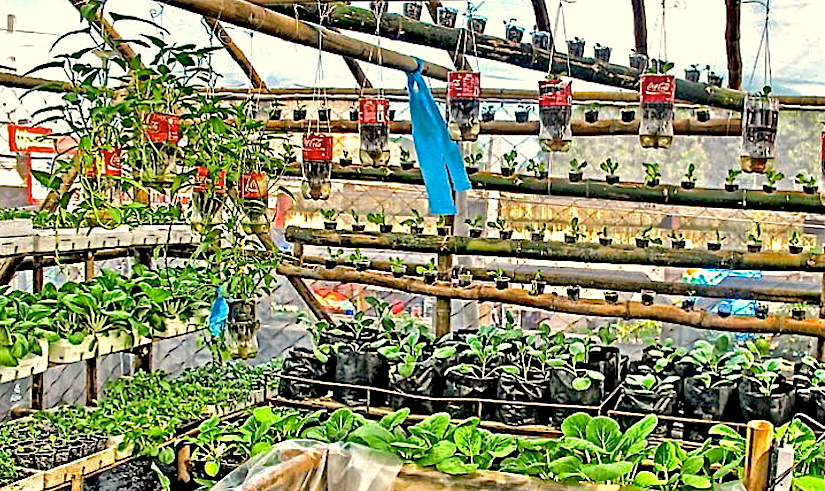 * Containers in greenhouse - veggies - Photo Lemuel A. Molina - 282925_524481317575915_1703501653_n_2.jpg