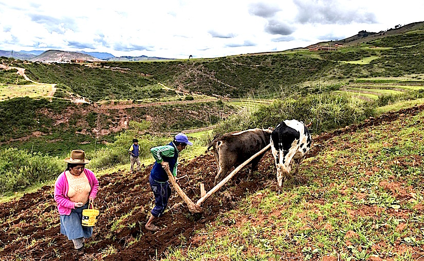 Maras, Peru - December 23, 2013: A Peruvian family plowing the land close to the Moray Inca Terraces, near Maras, in the Sacred Valley, Peru. The Moray terraces are an archaeological site where the Incas built circular terraces believed to be used for studying crops. Local farmers, such as the family photographed, continue to develop agriculture activities in the area surrounding the site using traditional techniques.