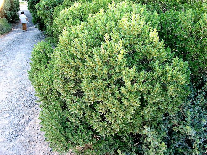 1280px-euclea_racemosa_-_dune_guarrie_hedge_-_cape_town_3