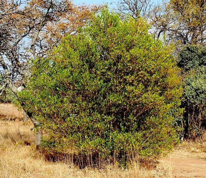 693px-dodonaea_viscosa_var_angustifolia_habitus_waterberg